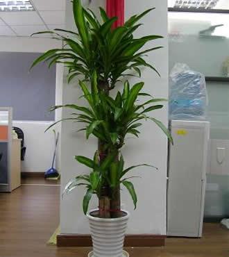绿植:巴西木盆栽净化空气植物