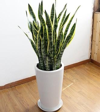 绿植:虎皮兰