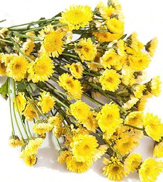 雏菊 黄色 10支/扎 鲜切花