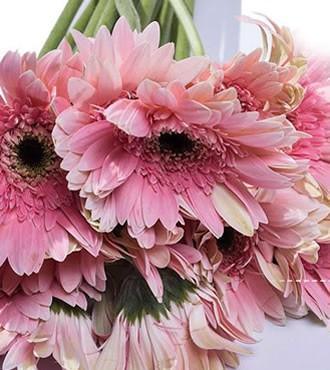 非洲菊 粉红 18支/扎 鲜切花