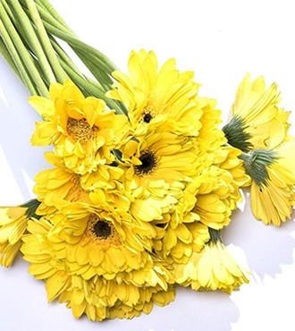 非洲菊 黄色 18支/扎 鲜切花
