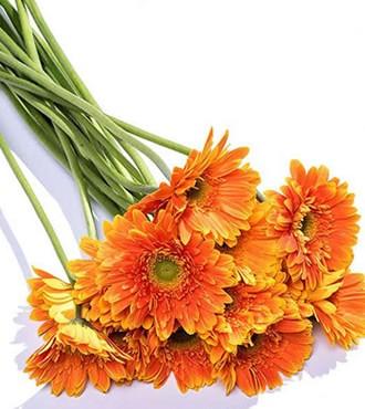非洲菊 橘色 18支/扎 鲜切花
