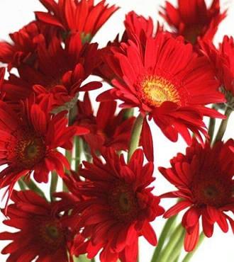 非洲菊 红色 18支/扎 鲜切花