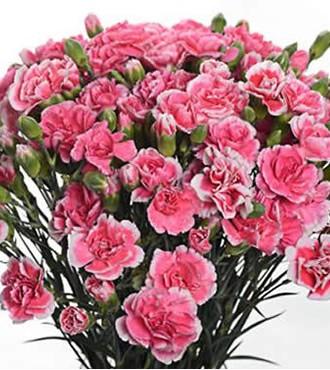 多头康乃馨 粉色 20支/扎 鲜切花