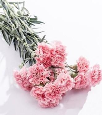 康乃馨 粉色 20支/扎 鲜切花