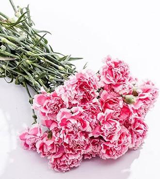 康乃馨 红白 20支/扎 鲜切花