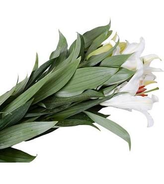 百合 香水百合 单头 白色 10支/扎 鲜切花