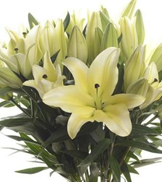 香水百合 三头 黄色 10支/扎 鲜切花