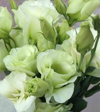洋桔梗 淡绿色 10支/扎 鲜切花