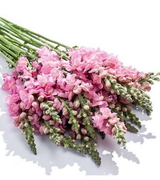 金鱼草 粉色 10支/扎 鲜切花