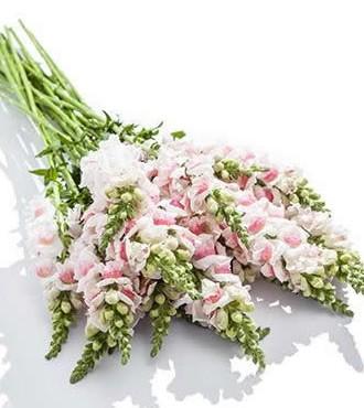 金鱼草 粉白色 10支/扎 鲜切花