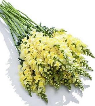 金鱼草 黄色 10支/扎 鲜切花