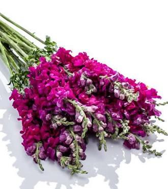 金鱼草 紫色 10支/扎 鲜切花