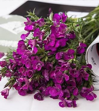 相思梅 紫红色 无数支/扎 鲜切花