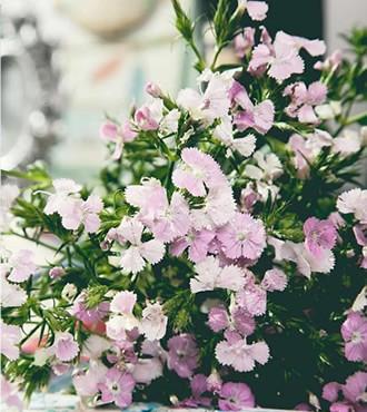 相思梅 粉色 无数支/扎 鲜切花