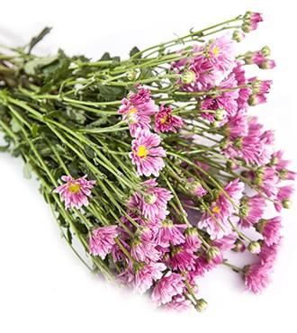 雏菊 粉紫色 10支/扎 鲜切花