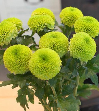 乒乓菊 绿色 10枝/扎 鲜切花