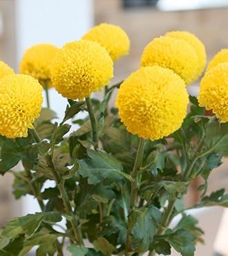 乒乓菊 黄色 10枝/扎 鲜切花