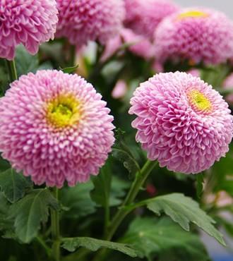 乒乓菊 粉色 10枝/扎 鲜切花