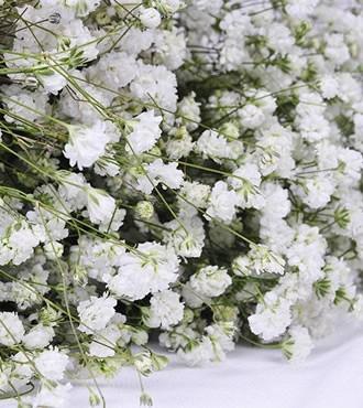 满天星 白色 无数支/扎 鲜切花