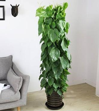 绿植:心叶藤