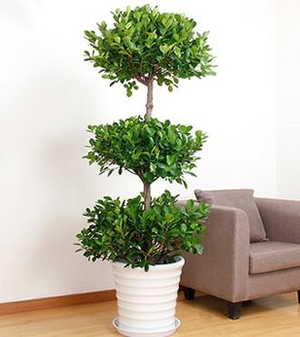 绿植:摇钱树