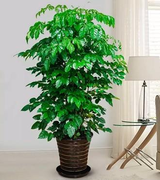 绿植:幸福树盆栽客厅绿化植物