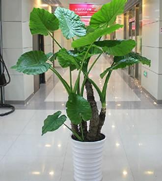 绿植:滴水观音观叶植物室内花