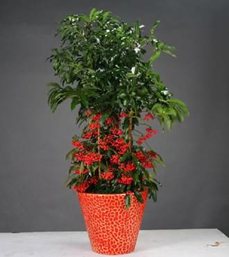 绿植:黄金万两盆栽年宵花卉