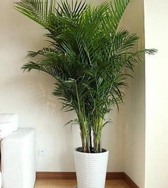 绿植:散尾葵盆栽办公室吸甲醛