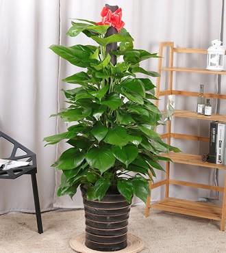 绿植:大绿萝盆栽办公室吸甲醛