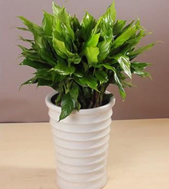 绿植:大万年青室内吸甲醛盆栽