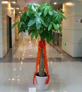 绿植:发财树盆栽开业乔迁客厅