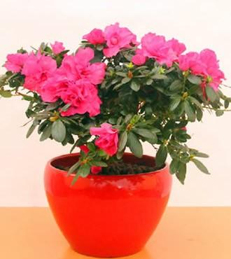 绿植:杜鹃花盆栽观花植物室内