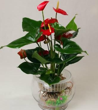 绿植:水培红掌盆栽观赏绿植