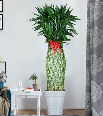 绿植:富贵竹笼盆栽可吸甲醛
