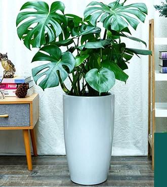 绿植:龟背竹