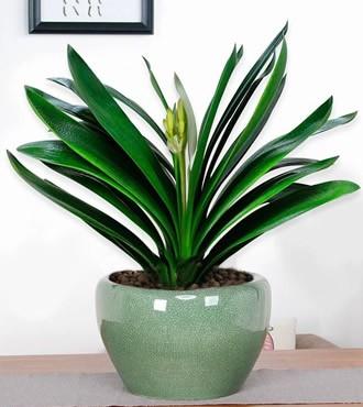 绿植:君子兰盆栽植物绿植花卉