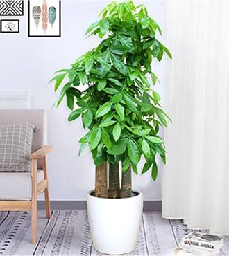 绿植:发财树-步步高