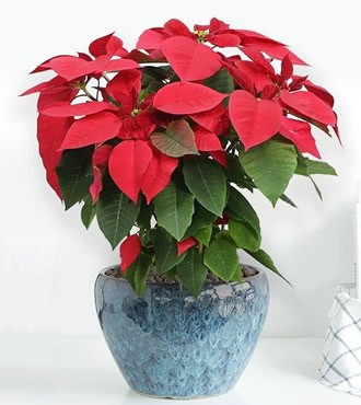 绿植:圣诞一品红乔迁开业送礼