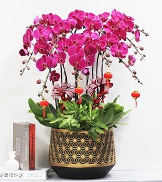 年宵花卉:紫气东来(蝴蝶兰)