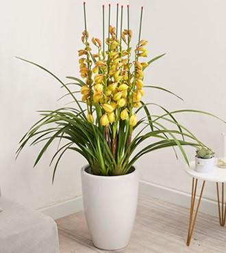 绿植:黄金岁月盆栽 观花植物