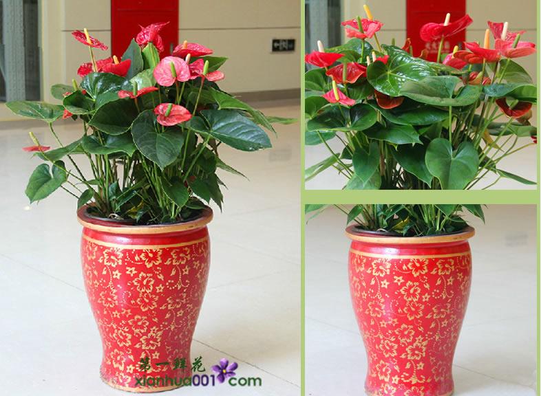 绿植 红掌大型绿植花卉 室内开花植物盆栽乔迁送礼 多株红