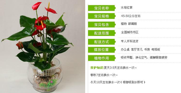 绿植 水培红掌盆栽观赏绿植 水培红掌,鲜花蛋糕礼品全国3小